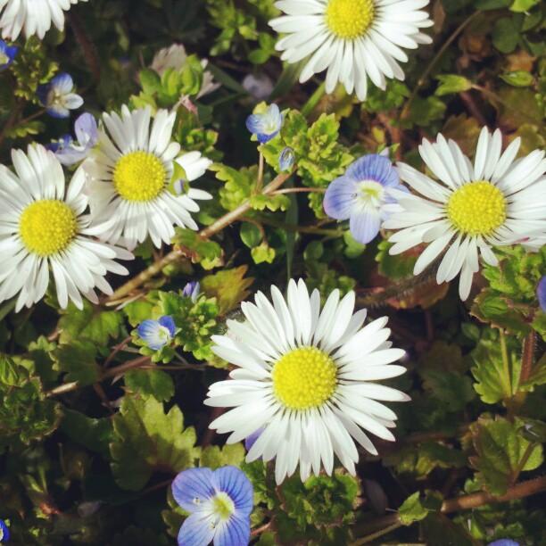 Pearl's Harbor Blog: Frühlingsblüher, Gänseblümchen