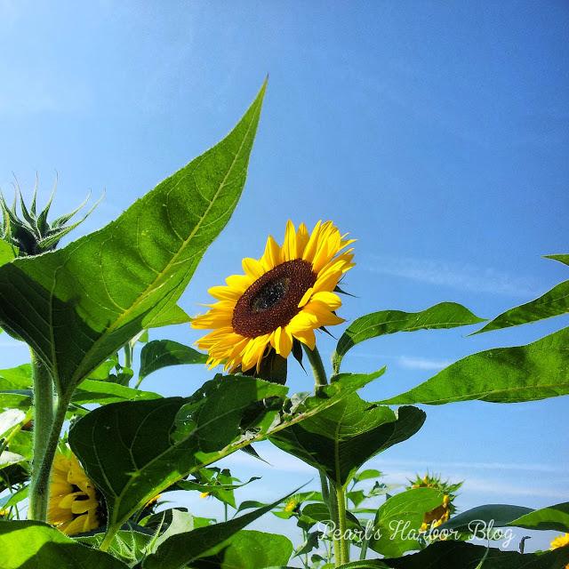 Pearl's Harbor Blog: Sonnenblume im Feld