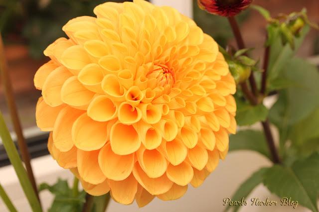 Pearlsharbor.blogspot.de Dahlie