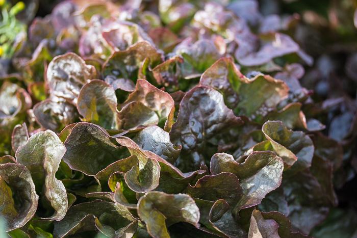 Blattsalat sehr schmackhaft mit roten Blättern aus Maxdorf in der Pfalz