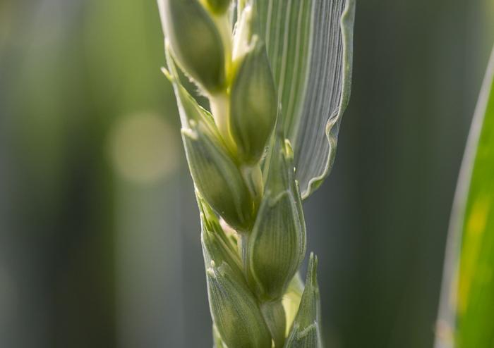 Sanftes Sonnenlicht umspiet den Weizen
