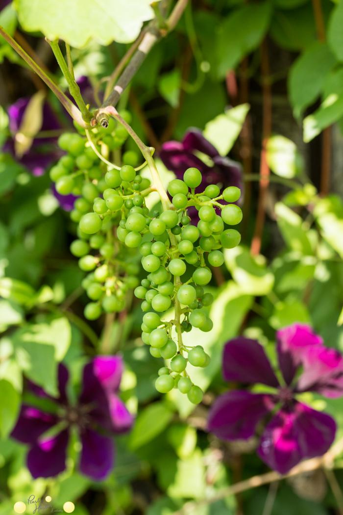 Trauben eignen sich gut auch in kleinen Gärten. Perfekt zur Begrünung von Hauswänden auch in Reihenaussiedlungen