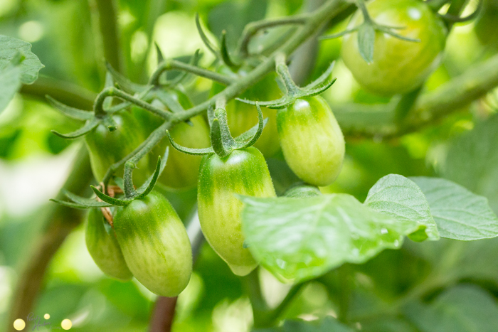 Tomaten im Topf für kleine Gärten, Balkone und Terrassen