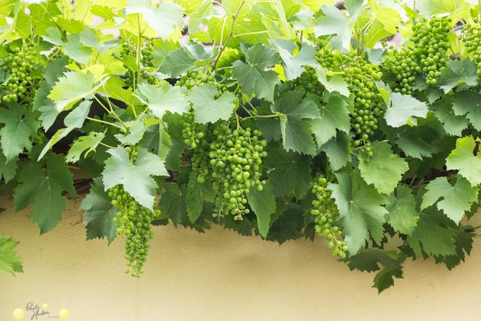 Trauben eignen sich gut zur Begrünung in einem kleinen Garten