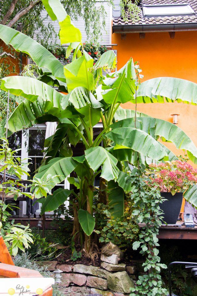 Bananenstaude im kleinen Garten