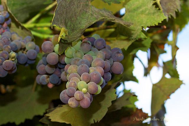 Von der Rebe ins Glas: Traubengelee mit Früchten aus eigenem Anbau {Rezept}