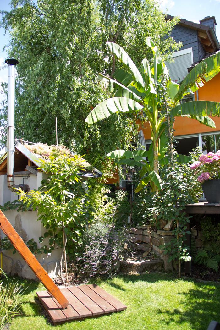 Bananenstaude in der Pfalz